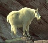Animal Tales header Mountain Goat