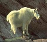 Animal Tales header Mountain Goat
