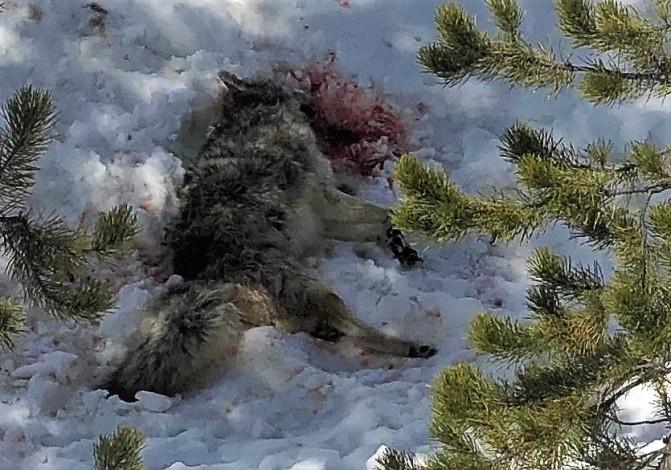 dead coyote 4.17.20 (1)