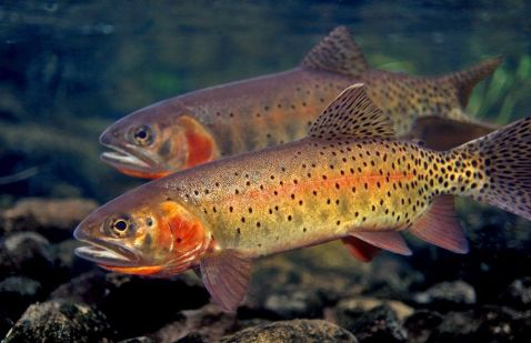 cuthroat trout - Copy