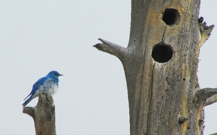 Mountain Bluebird near cavity in Pain Posts