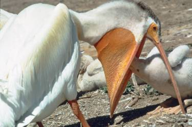 Pelican feeding young - Copy