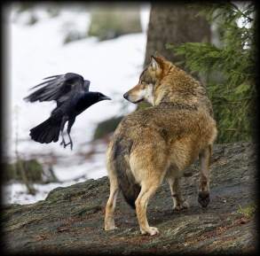 Raven and Wolf, courtesy of Vermont deadline