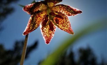 leopard lily 2 small
